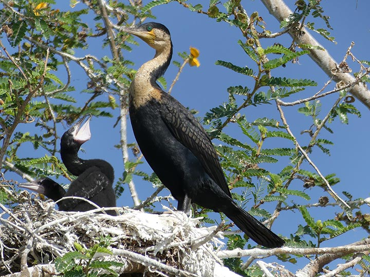 Akagera NP extension - comorant mother with a nest of 2 chicks (Photo: Ingrid Smet)