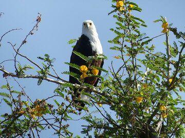 Akagera NP extension - African fish eagle (Photo: Ingrid Smet)