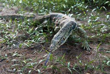 Meeting a monitor lizard on Anak Krakatau (Photo: Ivana Dorn)