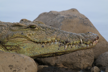 Crocodile in Awash river (Photo: Dietmar)