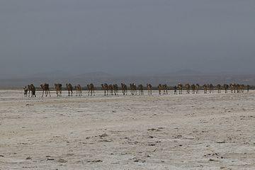 Camel caravan in Danakil desert near Dallol (Photo: Dietmar)