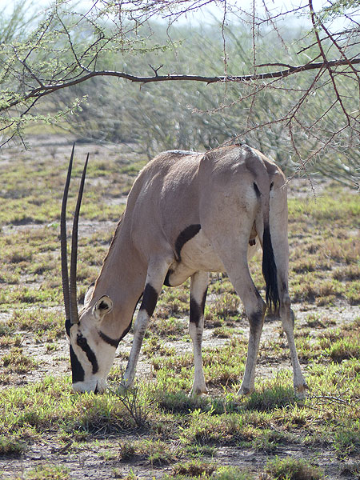 DAY 2: Short safari in Awash National Park - grazing oryx (Photo: Ingrid)