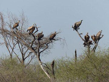DAY 2: Short safari in Awash National Park - a venue of vultures (Photo: Ingrid)