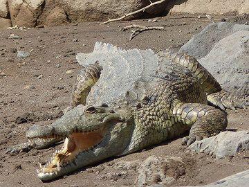 DAY 2: Short safari in Awash National Park - Nile crocodile sunbathing at Awash water falls (Photo: Ingrid)
