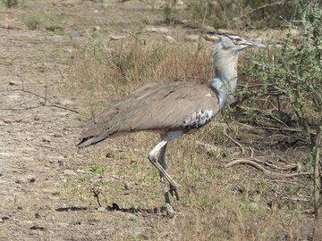 DAY 2: Short safari in Awash National Park - Kori bustard crossing the road (Photo: Ingrid)