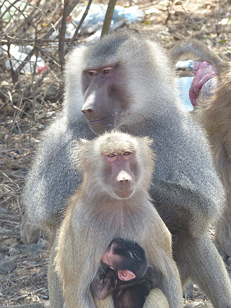 DAY 2: From Awash NP to Logia - olive baboon family (Photo: Ingrid)
