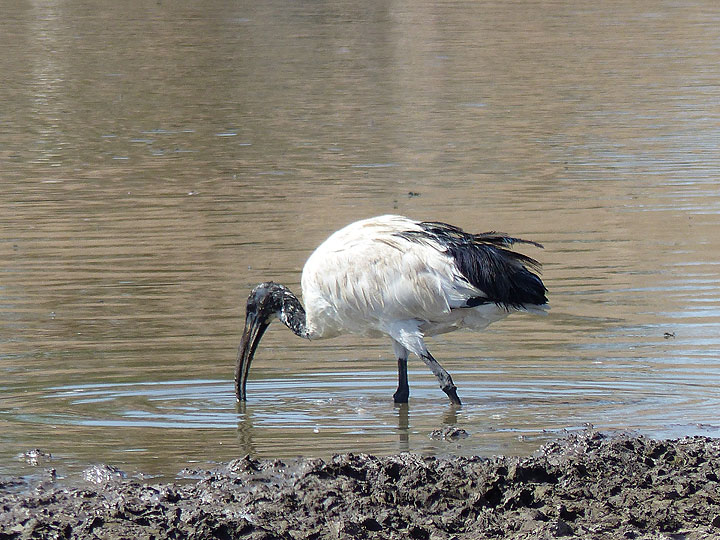 DAY 2: From Awash NP to Logia - African sacred ibis feeding at a large water hole (Photo: Ingrid)