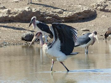 DAY 2: From Awash NP to Logia - marabou storks at a large water hole (Photo: Ingrid)