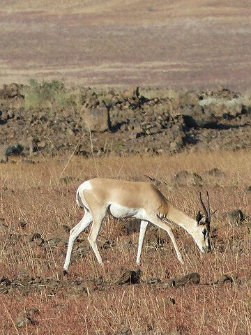 DAY 2: From Awash NP to Logia - a Grant´s gazelle grazing in the steppe (Photo: Ingrid)