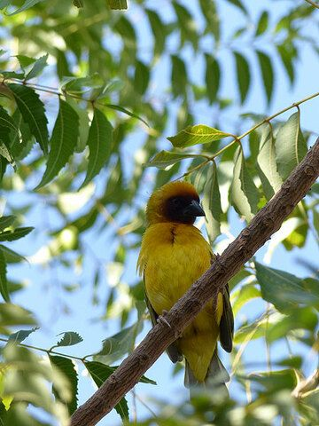 DAY 3: From Logia to Afrera salt lake - During breakfast, we are closely watched by this bright yellow bird... (Photo: Ingrid)