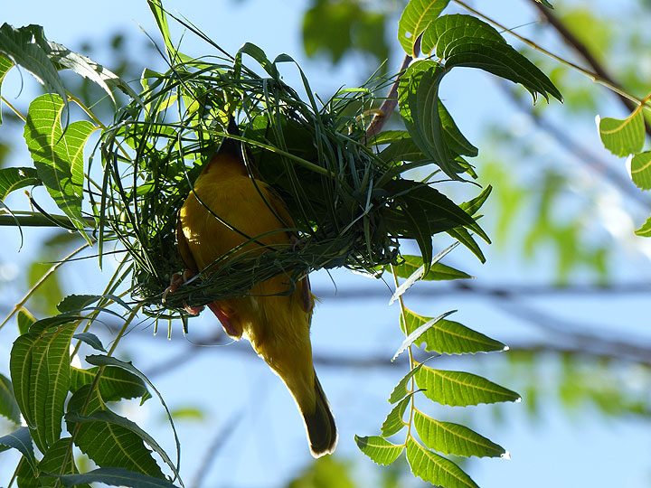 DAY 3: ...which turns out to be a male southern masked weaver, one of many that are busy weaving a nest... (Photo: Ingrid)