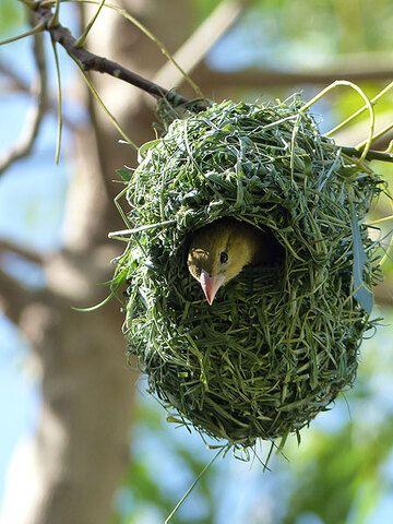 Day 3: ...whilst those nests already finished are inhabited by female weaver birds! (Photo: Ingrid)