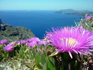 Ice Plants high above the caldera of Santorini island, Greece (Photo: Janka)