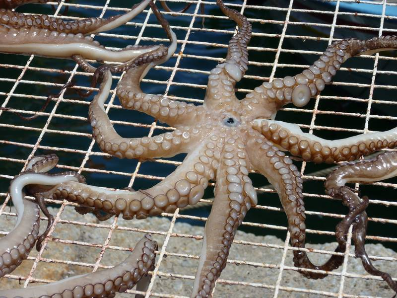 Octopus spread out to dry in Mytilini harbour on Lesbos island, Greece (Photo: Janka)