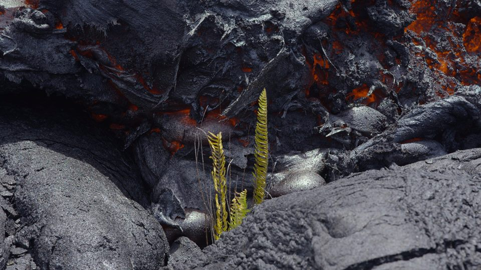 Small fern about to fall victim to the lava flow. (Photo: Michael Dalton)