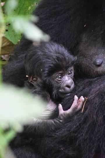 Mountain gorilla baby (Photo: Michael Wareham)
