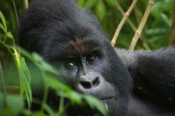 Mountain gorilla (Photo: Michael Wareham)