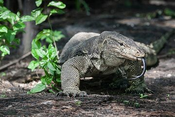 Krakatau monitor lizard (Photo: Uwe Ehlers / geoart.eu)