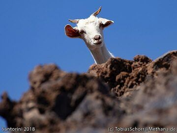 One goat on Palea Kameni island. (Photo: Tobias Schorr)