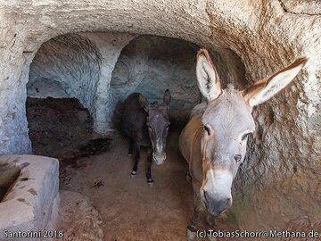 Donkeys at Acrotiri. (Photo: Tobias Schorr)