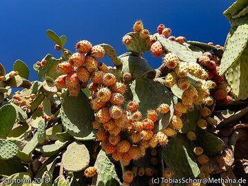 Cactus figs (Photo: Tobias Schorr)