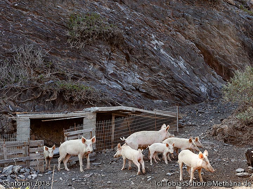Pigs on Palia Kameni island. (Photo: Tobias Schorr)