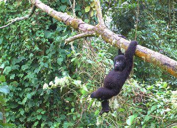 Young mountain gorilla (Photo: Yashmin Chebli)
