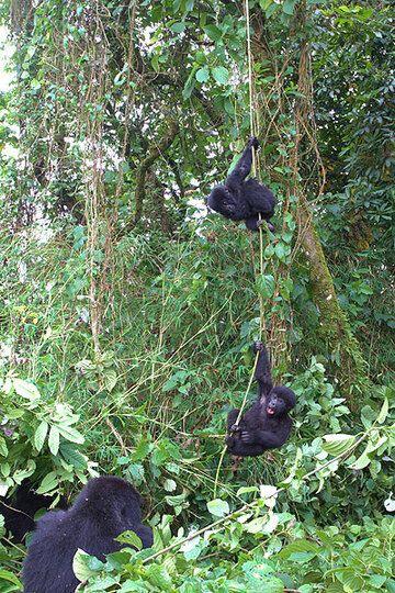 Mountain gorillas playing (Photo: Yashmin Chebli)