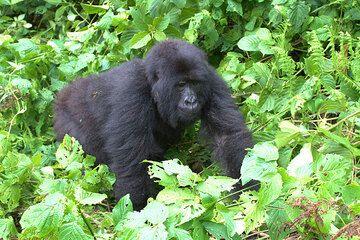 Mountain gorilla (Photo: Yashmin Chebli)