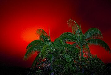 Palm trees against a red sky above Ambrym volcano (Photo: Tom Pfeiffer)