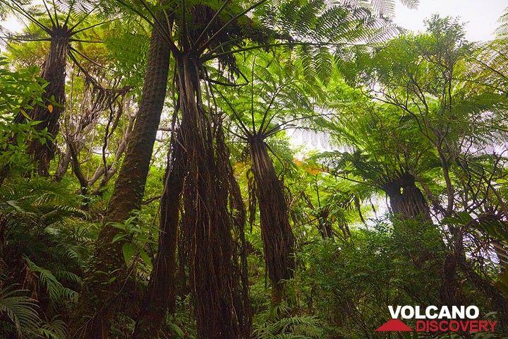 Ein Regenwald aus Baumfarnen (Photo: Tom Pfeiffer)