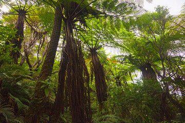 Tree fern forest (Ambrym) (Photo: Tom Pfeiffer)