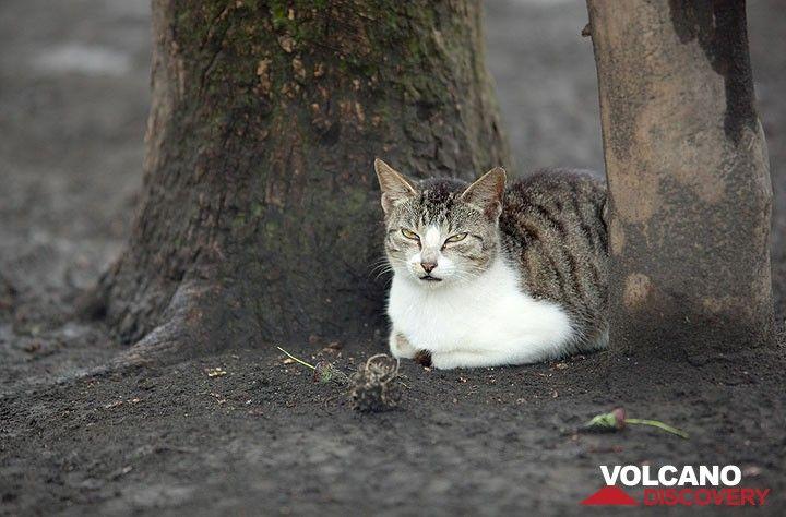 Beau chat dans Lalinda village (Ambrym) (Photo: Tom Pfeiffer)