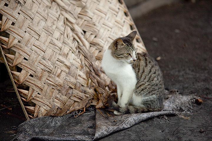 Portrait de chat (Lalinda village, Ambrym) (Photo: Tom Pfeiffer)
