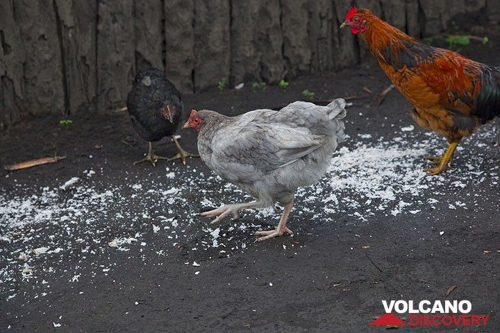 Hühner fressen Kokosnuss genausogerne... (Photo: Tom Pfeiffer)