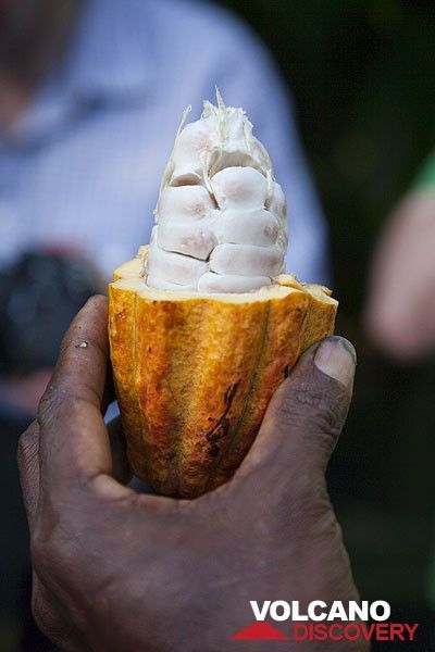 Kakau-Frucht (Photo: Tom Pfeiffer)