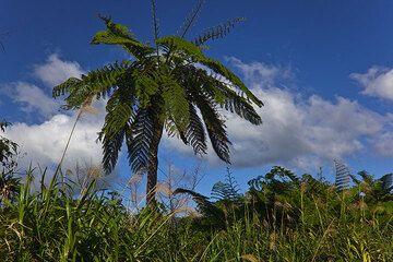 Ein schöner Baumfarn beim Yasur (Photo: Tom Pfeiffer)