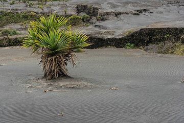 Small palm tree growing in the sand sea of Yasur. (Photo: Tom Pfeiffer)
