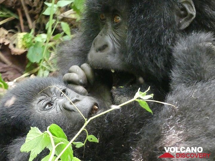 Two young maintain gorillas playing in Virunga NP (photo: Ingrid Smet / VolcanoDiscovery)