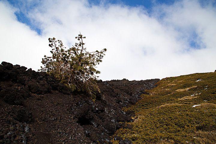A knocked-down tree lay on the lava flow (photo: Emanuela / VolcanoDiscovery Italia)