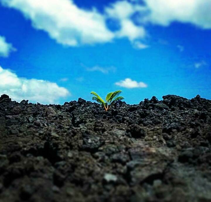 An Ama'u fern growing in a'a lava at the National Park