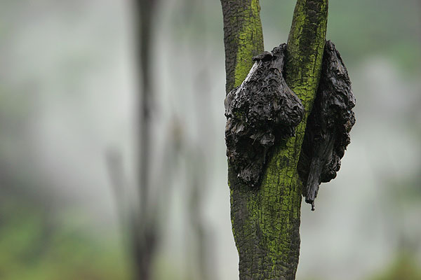 Lava bomb ejected from the eruptive fissure in 2002 still clinging on a dead tree