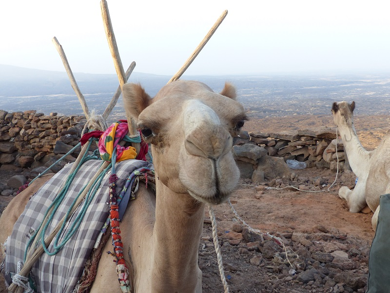 One of the many camels that bring up luggage to Erta Ale´s caldera rim