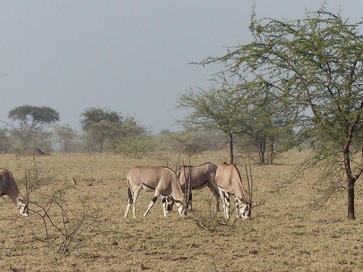 East African orex grazing in the savannah of Awash NP (Ingrid Smet - November 2015)