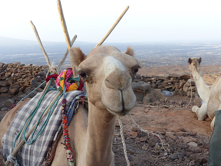One of the camels waiting on Erta Ale's caldera rim to take our luggage and camping gear back down (November 2015 - Ingrid Smet)
