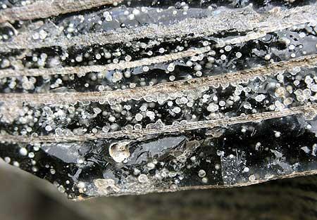 Obsidian with spherolites from Lipari´s historic lava flow