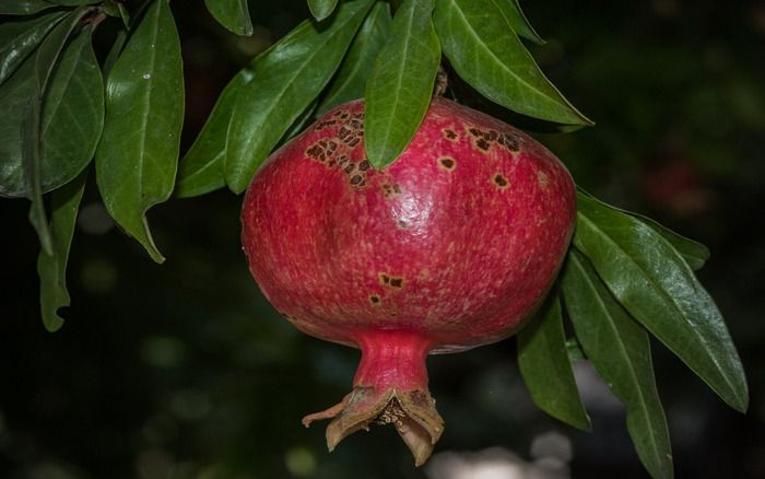 Pomegranate is the symbol of Armenia
