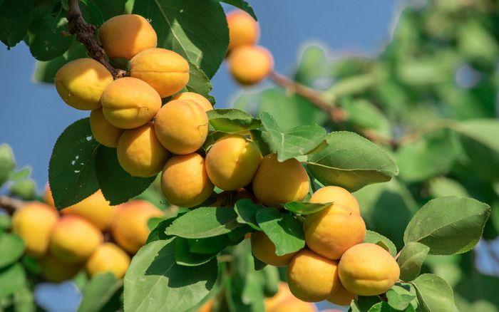 Tasteful Armenian apricots