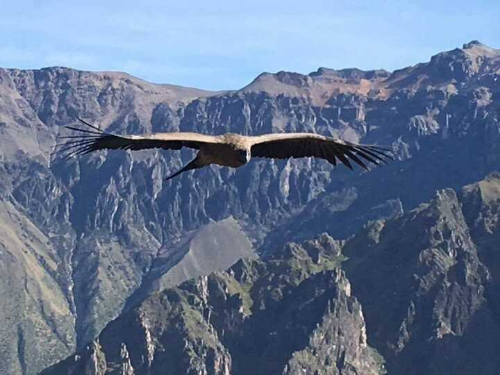 The condor is a sacred bird in many Andean cultures.