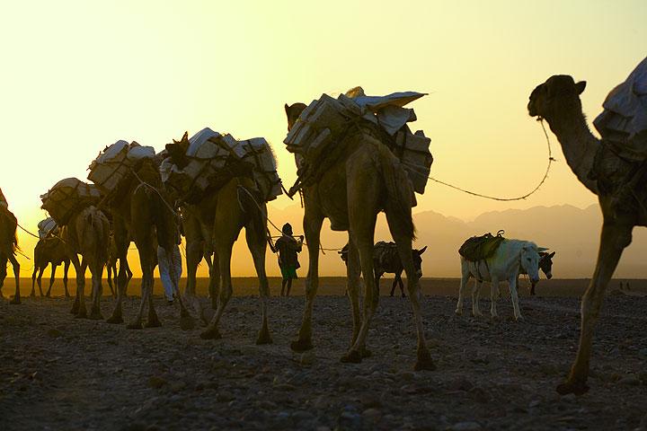 Long camel caravans transporting the salt from lake Assale pass through the village of Hamed Elah around sunset (Dec 2010; image: Tom Pfeiffer)